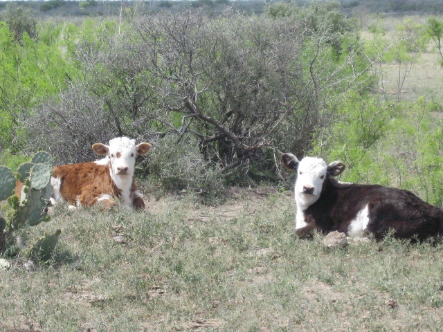 2-cute-laying-calves-resized.jpg